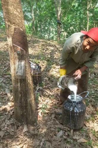 原来,474棵橡胶树,居然产出了300公斤的胶水.他喜出望外,逢人便讲.